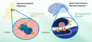 CB1 & CB2 Receptors