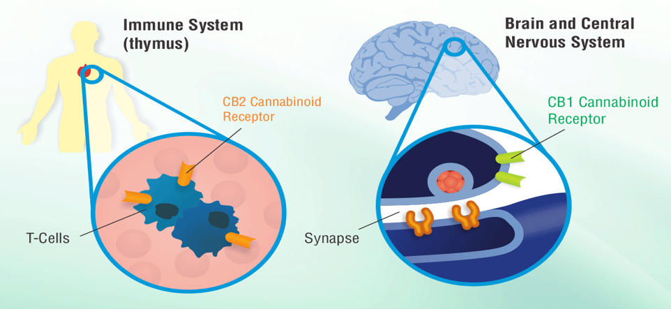 cannabinoid affect on depression The effects of cannabis use on neurocognition in schizophrenia: a meta-analysis  roerecke m, le foll b, et al the association between cannabis use and depression: a systematic review and meta .