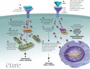 CBD and THC Receptors