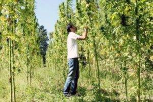 Alpha-CAT Hemp field