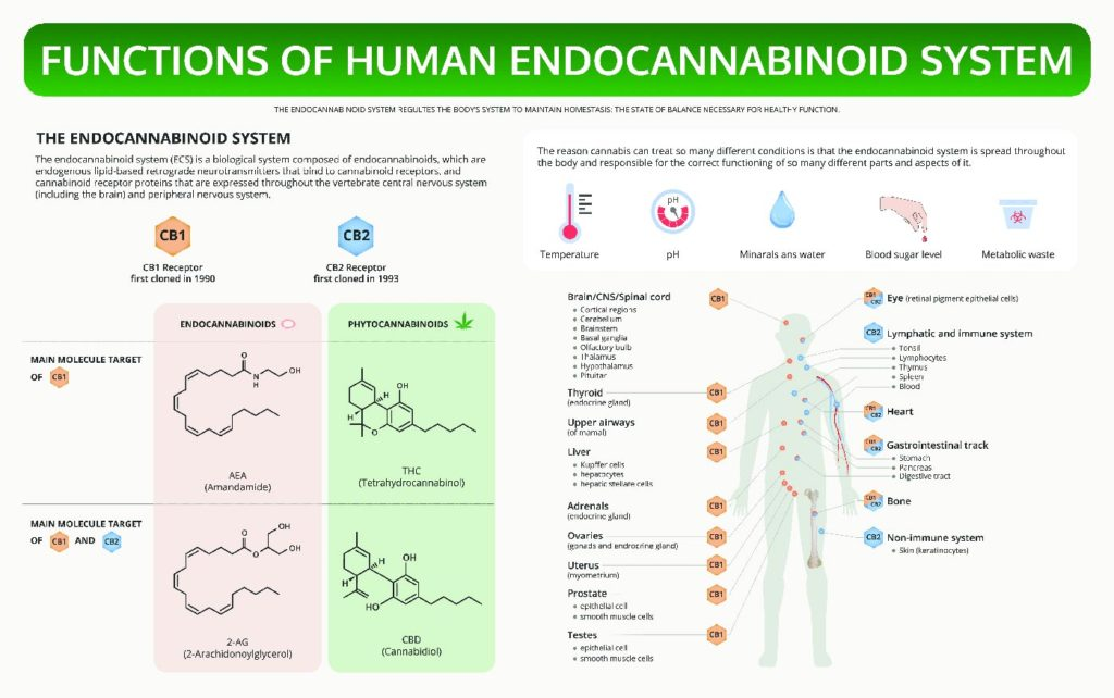 Functions of human cannaboid system