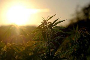 L'importance de tester le cannabis avant de le consommer